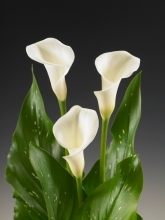 White Mini Calla Lily
