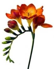 Orange Fresia