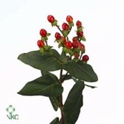 Red Hypericum