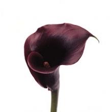 Black Mini Calla Lily (Renoir)