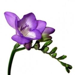 Purple Fresia