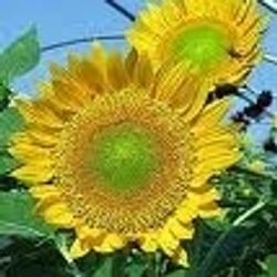 Sunbeam Sunflowers