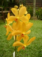 Yellow Mokara Orchid