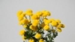 Yellow Button Mum
