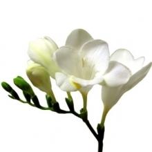 White Fresia