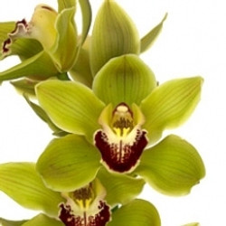 Green Cymbidium Orchid