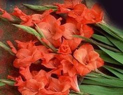 Orange Gladiola