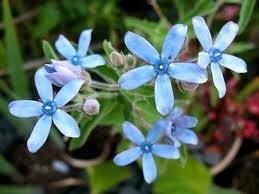 Blue Tweedia