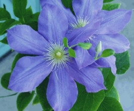 Blue Clematis