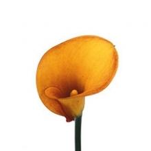 Orange Mango Calla Lily