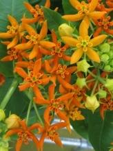 Orange Asclepia
