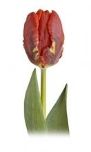 Red Parrot Tulip