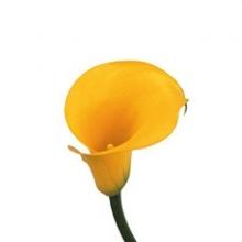 Yellow Mini Calla Lily