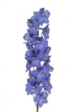 Blue Belladonna Delphinium