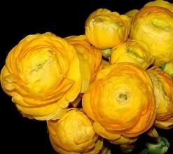 Yellow Renunculus