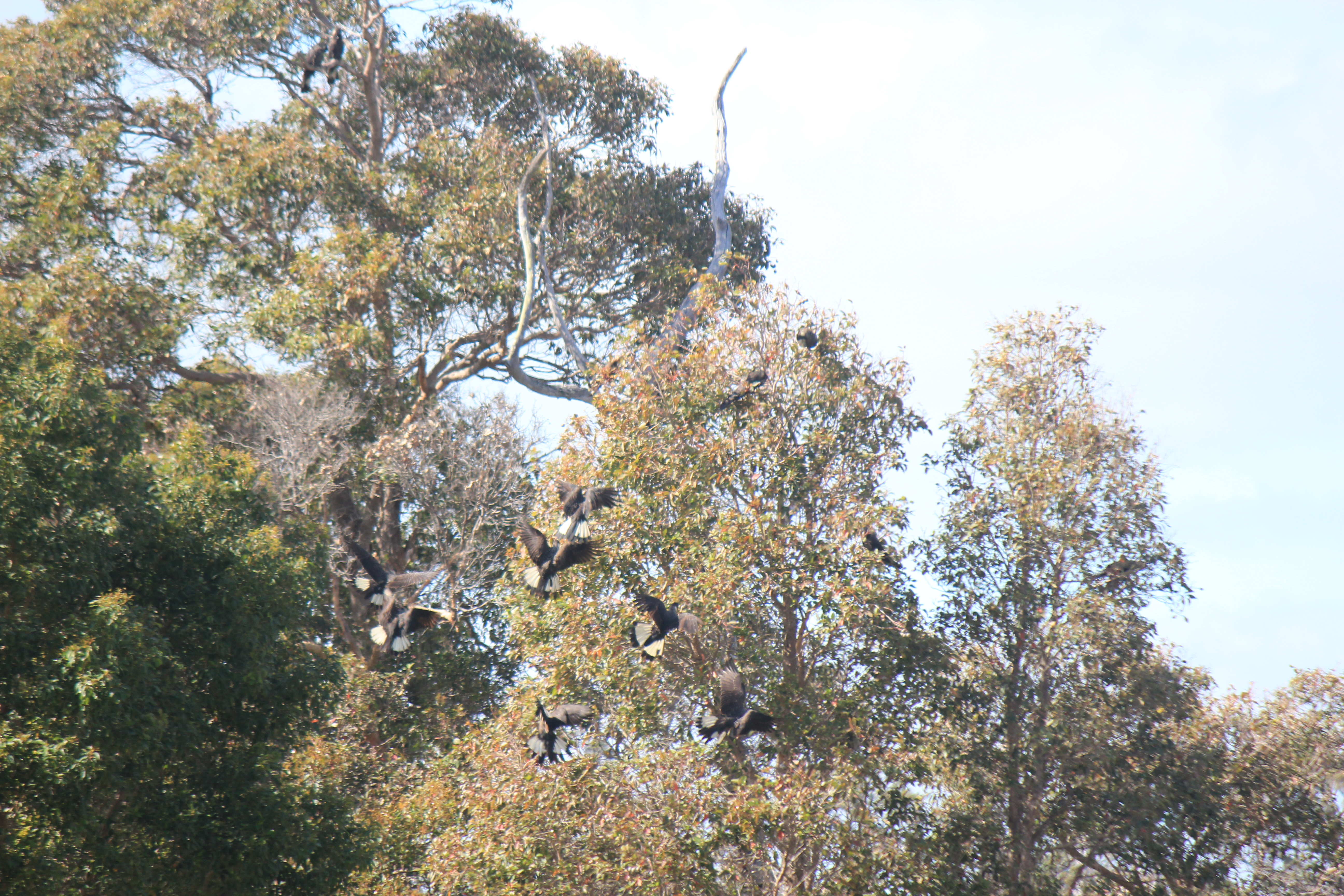Resident black cockatoos