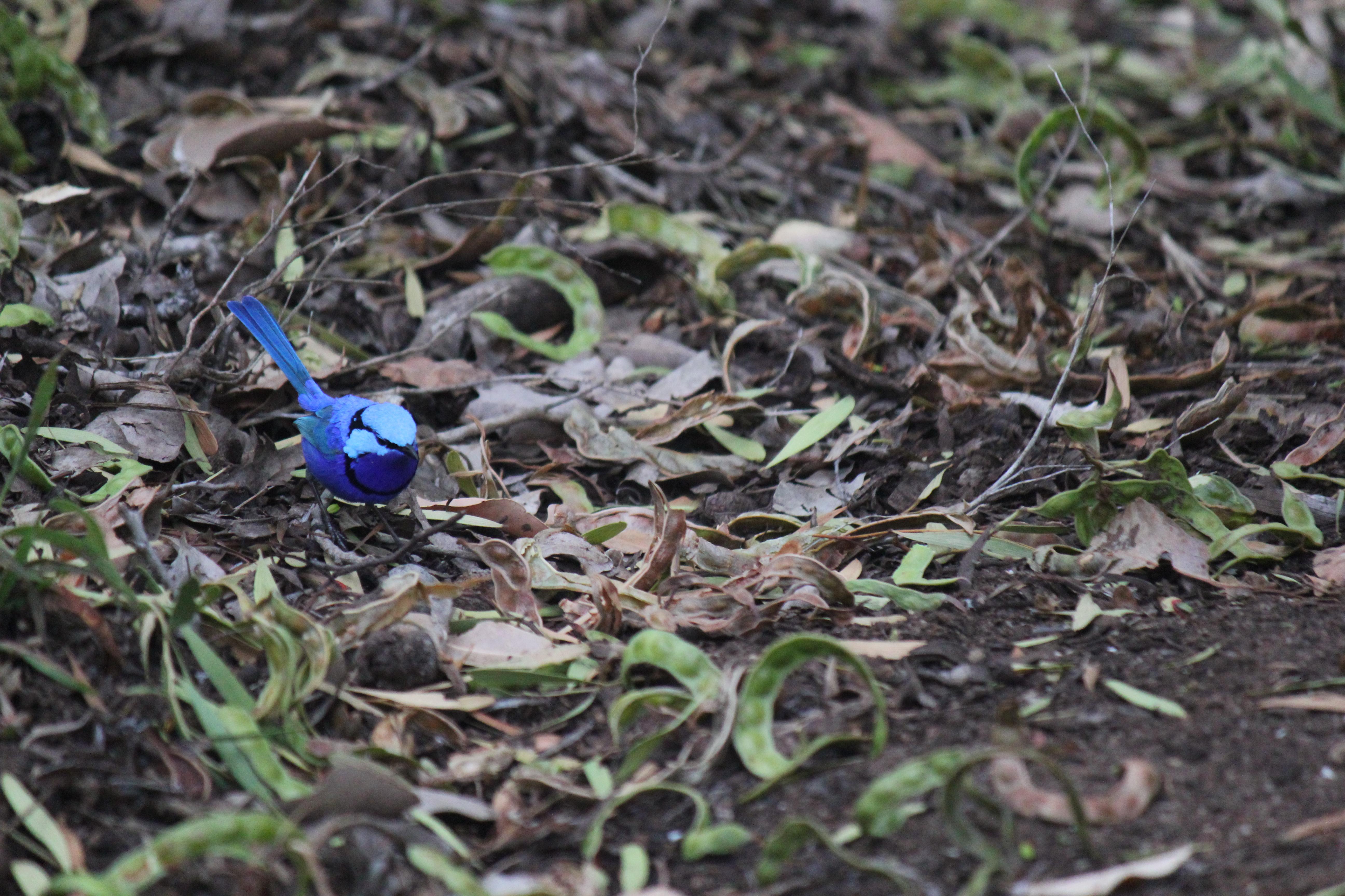 Resident blue wren