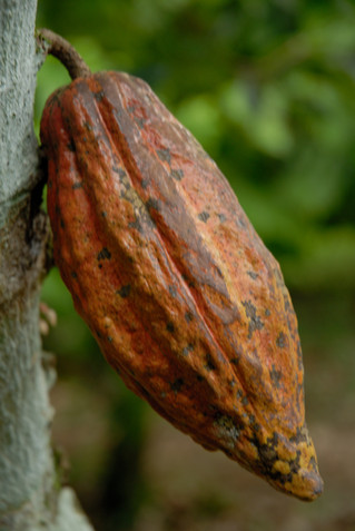 Cacao nib praline