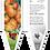 Thumbnail: tomate ancestrale Striped German