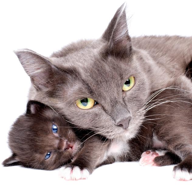 עונת הייחום אצל חתולות