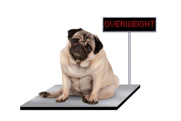 עודף משקל אצל חיות המחמד