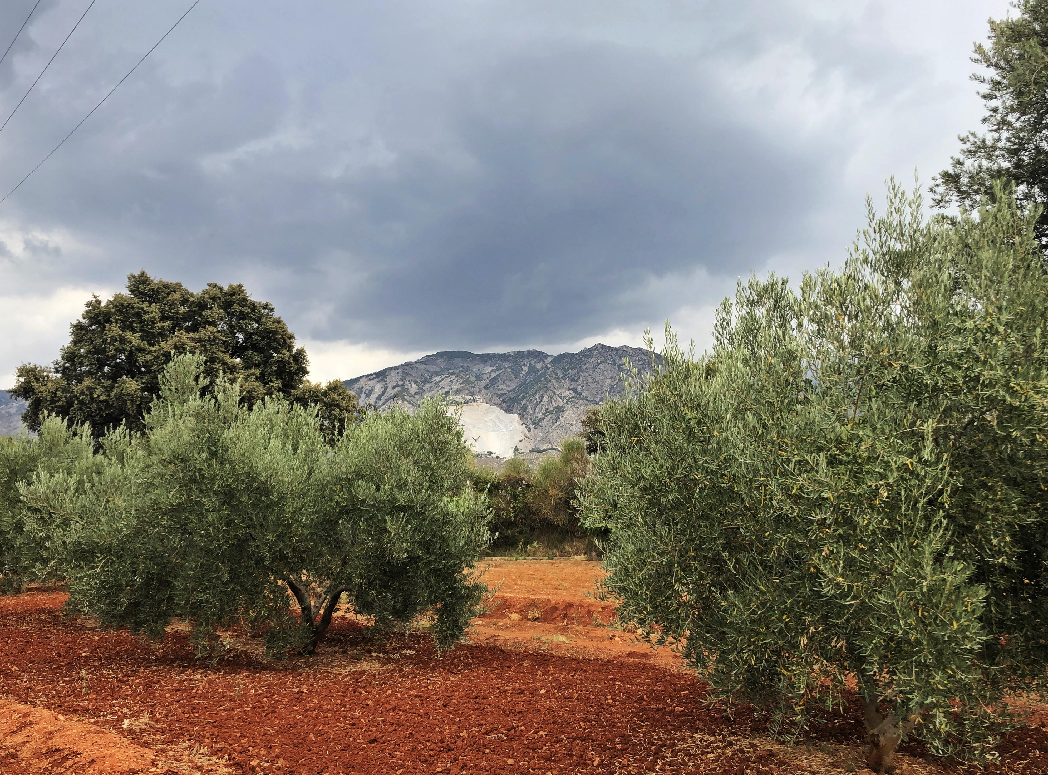 Oliven Plantage in Cozvijar