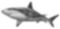 caribbean_reef_shark.png