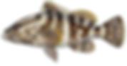 LBF_Nassau_Grouper.png