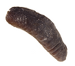 Sea-Cucumber-dried.png