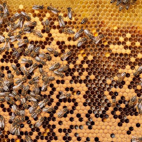 Rähmchen mit bedeckte Brut und Bienen