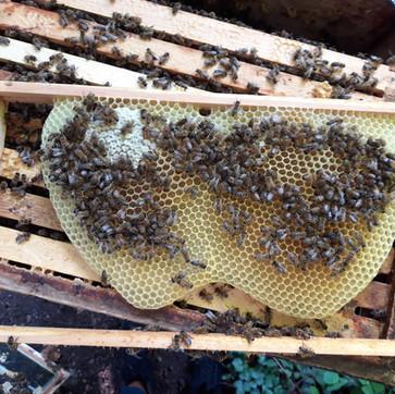 Wildbau Drohnenbrut mit Bienen und Honig