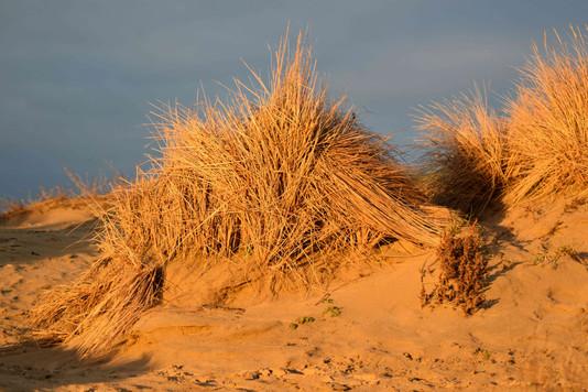 Dune Grass Before Sunset