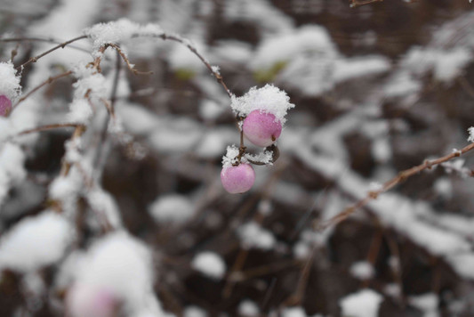 Snow and Pink Berry