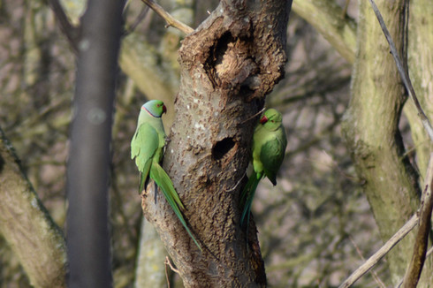 Parakeets on a Grey Day
