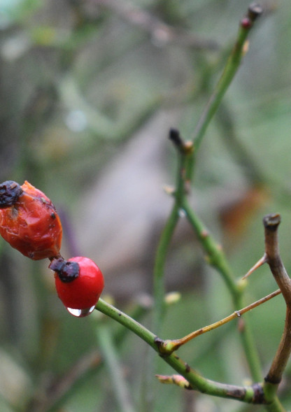 Water Drop on Berry