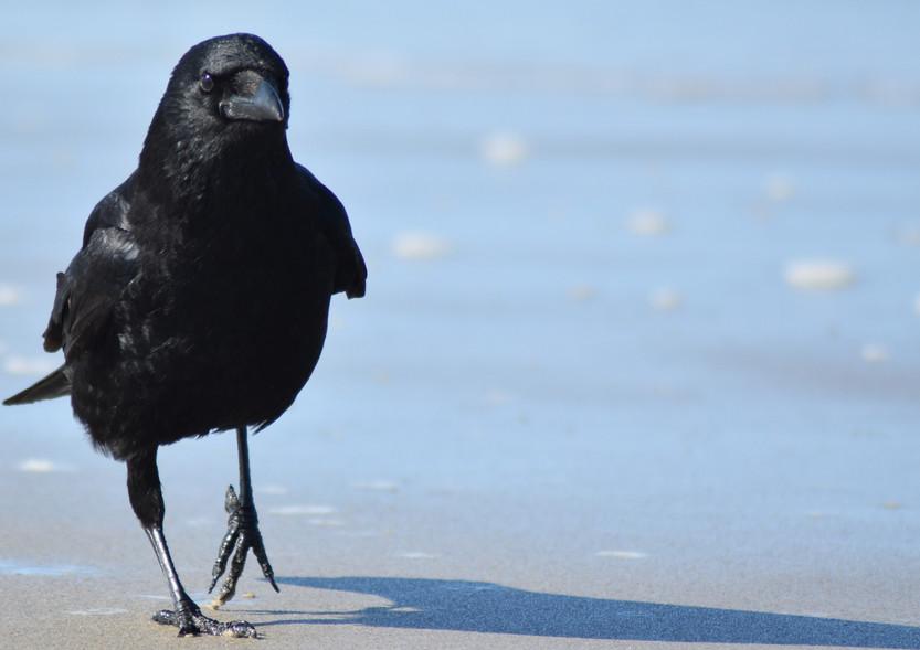 20210416 Crow walking crop.JPG