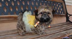 Shih tzu puppy wearing a dress
