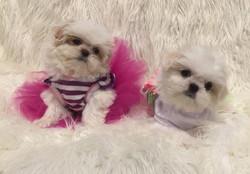 2 white imperial shih tzu puppies