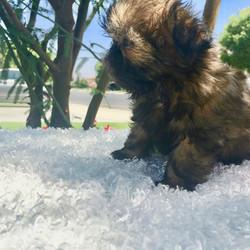Shih tzu puppy on white blanket