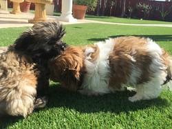 Two shih tzu puppies playing