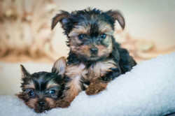 Two shorkie puppies lying down