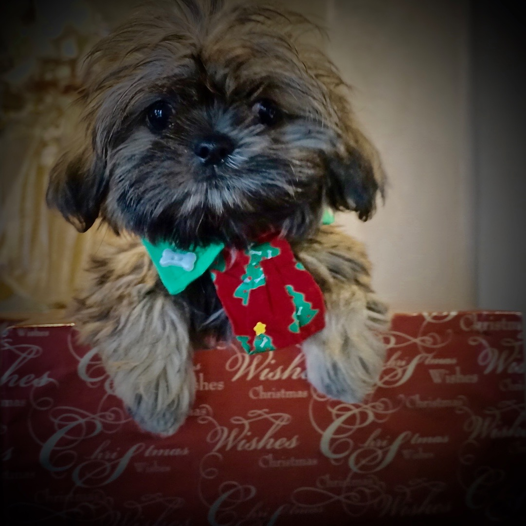 Shih tzu puppy dressed for Christmas