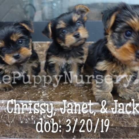 Click to see more pics of Yorkies!