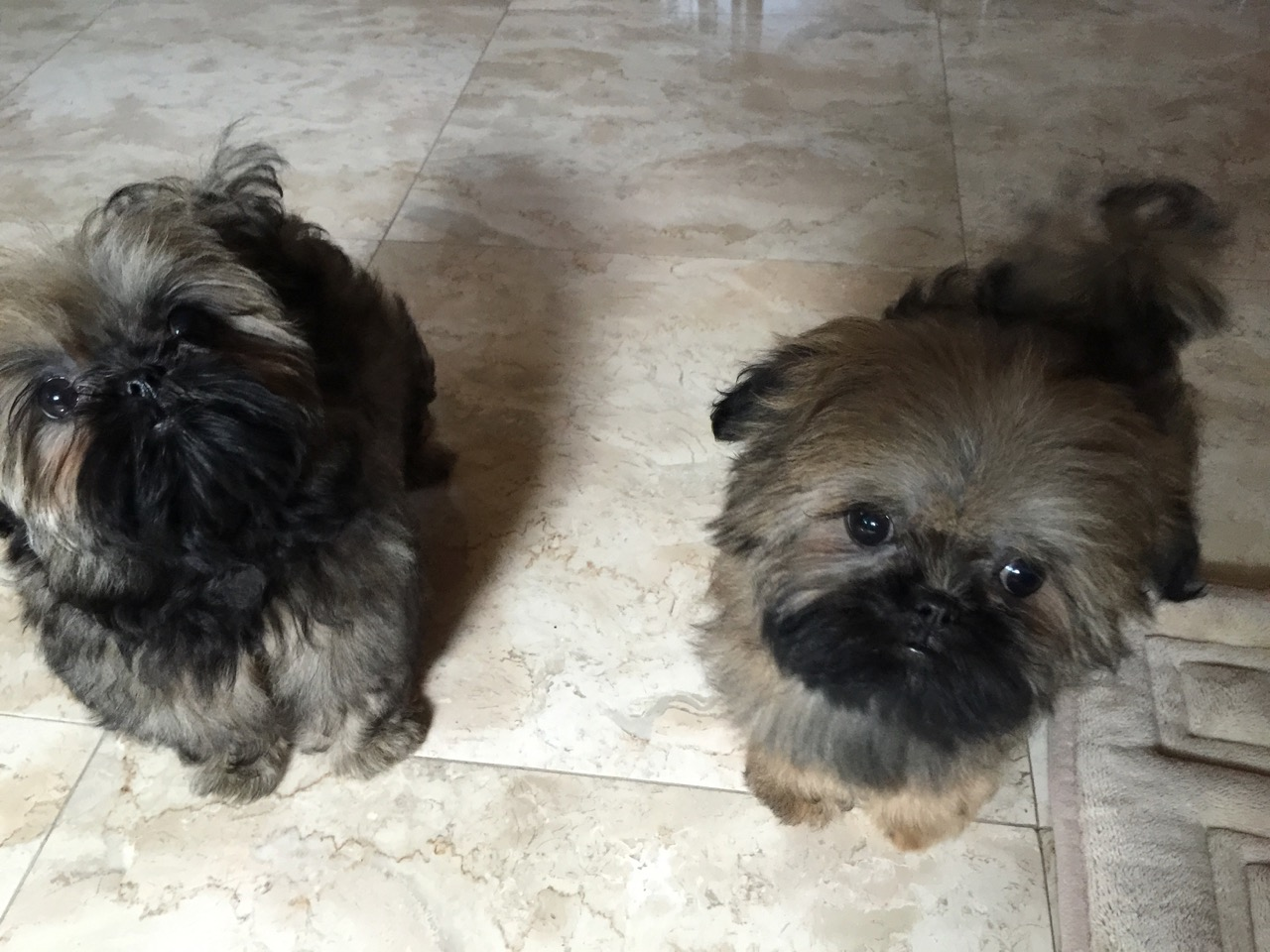 Two shih tzu puppies looking up