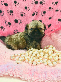 Shih Tzu puppy with mask on pink
