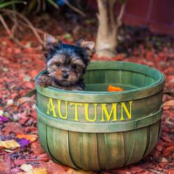 Shorkie puppy in a basket