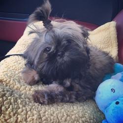 Brindle shih tzu puppy with ponytail