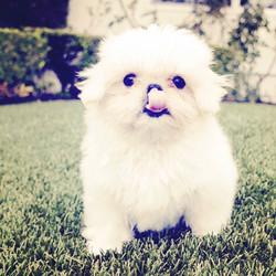 White shih tzu puppy licking lips