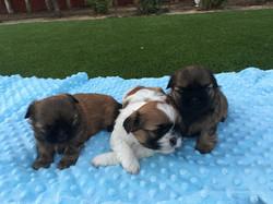 Three shih tzu puppies on a blanket