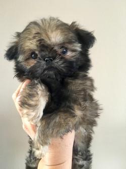 brown shih tzu puppy held up